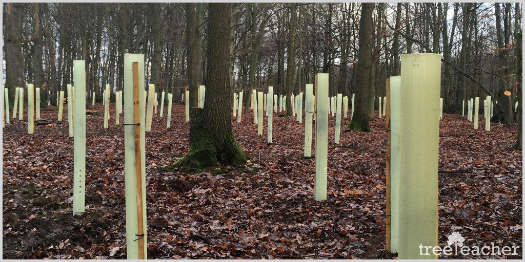 Kopfbuchen auf der Bockerter Heide - Neubepflanzung
